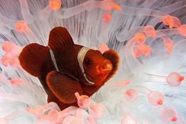 Pink Nemo