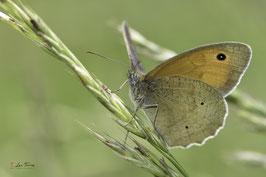 DSC0538 - Papillon myrtil