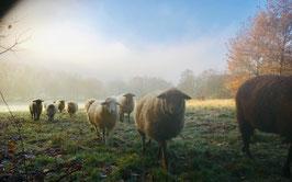 """Postkarte """"Die HerzBerg-Schafe am Wintermorgen"""", Fotografie von Nic Koray"""