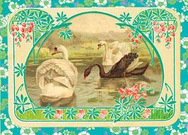 Schwäne - Postkarte