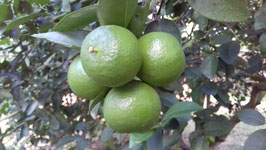 GRAPEFRUITS, LIMES, LEMONS, ORANGES, Karamboles etc fresh from the tree - 100% ORGANIC and NATURAL