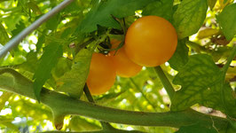 CHERRY and PLUM TOMATOES fresh from PERMACULTURE FARM - 100% ORGANIC and NATURAL