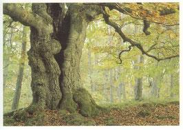 Postkarte Alte Buche grün