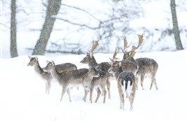 Postkarte Dammwild im Schnee