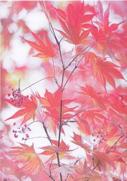 Postkarte Japanischer Ahorn III