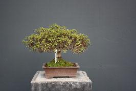 Rhododendron lateritum