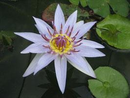Seerose Colorata