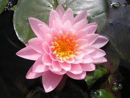 Seerose Supranee Pink