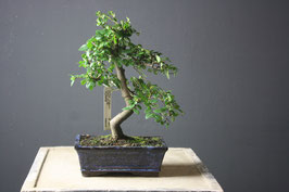 Ulmus Chinensis (3263)