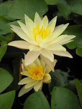 Seerose Peace Lily