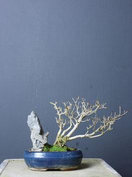 Syringia japonica
