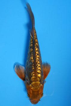 9867 Ginrin Aragoke Tembaga Chagoi Butterfly