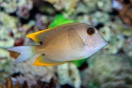 Tominis Borstenzahn Doktorfisch - Ctenochaetus tominiensis