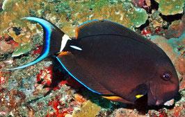 Weisslippen Doktorfisch - Acanthurus leucocheilus