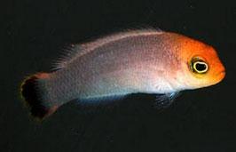 Eleganter Zwergbarsch - Pseudochromis elongatus