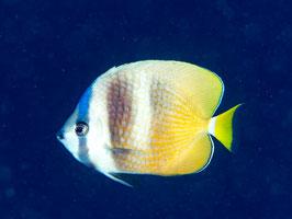 Klein`s Falterfisch - Chaetodon kleinii