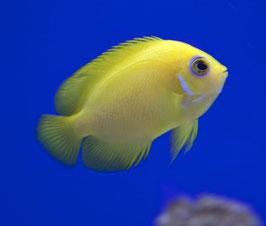 Zitronen-Zwergkaiserfisch (Fiji) - Centropyge flavissima