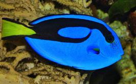 Paletten Doktorfisch - Paracanthurus hepatus