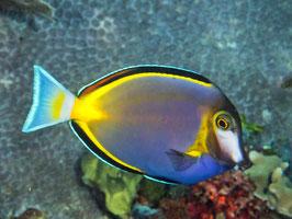 Philippinen Doktorfisch - Acanthurus japonicus