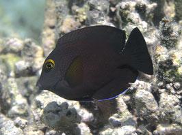 Indischer Goldring Borstenzahn Doktorfisch - Ctenochaetus truncatus
