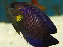 Mondstrahl Zwergkaiserfisch - Centropyge flavipectoralis