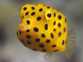 gewöhnlicher Kofferfisch - Ostracion cubicus