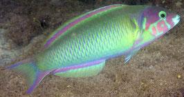Vielfarben Lippfisch - Thalassoma genivittatum