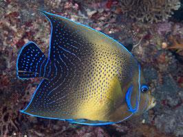Koran Kaiserfisch - Pomacanthus semicirculatus