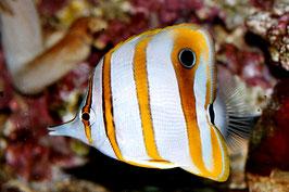 Orangebinden Pinzettfisch - Chelmon Rostratus