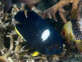 Schlüsselloch Zwergkaiserfisch - Centropyge tibicen