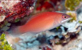 Streifen Zwerglippfisch - Pseudocheilinus evanidus