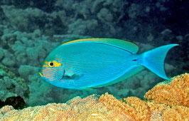 Augenfleck Doktorfisch - Acanthurus mata