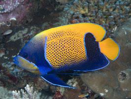 Traumkaiserfisch - Pomacanthus navarchus