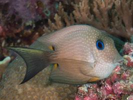 Blauaugen Borstenzahn Doktorfisch - Ctenochaetus binotatus