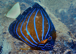 Ringkaiserfisch - Pomacanthus annularis