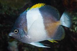 Schwarzer Pyramiden Falterfisch - Hemitaurichthys zoster