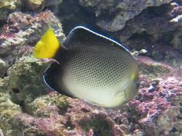 Indischer Rauchglas Kaiserfisch - Apolemichthys xanthurus