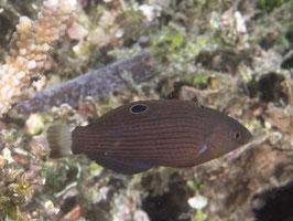 Prachtregenbogenlippfisch - Halichoeres (Biochoeres) marginatus