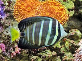 Östlicher Segelflossen Doktorfisch - Zebrasoma veliferum