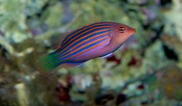 Sechsstreifen Lippfisch - Pseudocheilinus hexataenia