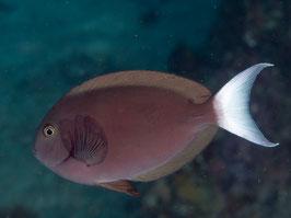 Weißschwanz Doktorfisch - Acanthurus tompsoni