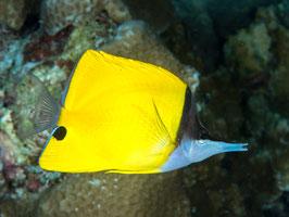 Gelber Langnasen Pinzettfisch - Forcipiger flavissimus