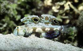 Krabbenaugengrundel - Signigobius biocellatus - Krabbenaugengrundel