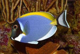 Weißkehl Doktorfisch - Acanthurus leucosternon