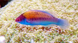 Blauschuppen-Zwerglippfisch - Cirrhilabrus cyanopleura