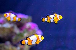 Amphiprion Ocellaris - Falscher Clownfisch Snowflake
