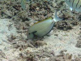Achselklappen Doktorfisch - Acanthurus nigricauda