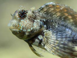 Juwelen-Felshüpfer - Salarias fasciatus