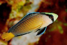 Pracht-Zwergbarsch - Manonichthys splendens (Pseudochromis)