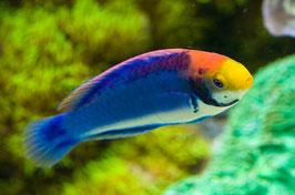 Rotaugen Zwerglippfisch - Cirrhilabrus solorensis